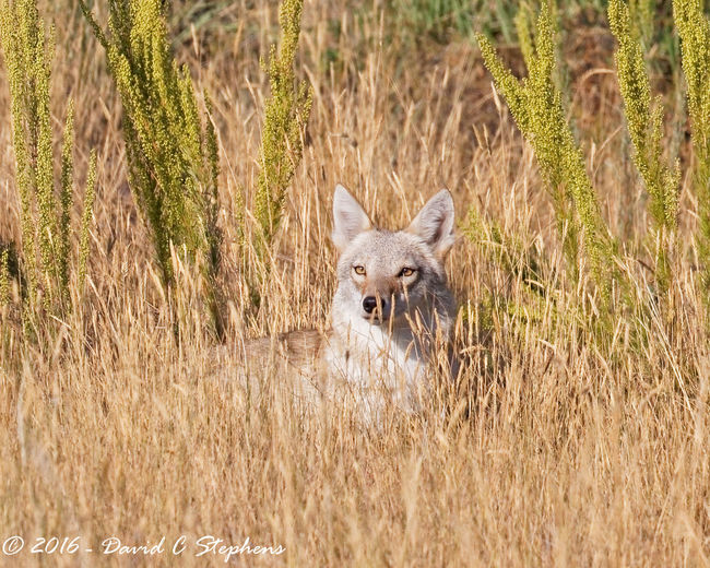 Beautiful Coyote Watches Us With Amber Eyss Amazing Amber Beautiful Nature Colorado Colors Eyes Eyes Watching You Forest Fur Landscape Morning Light Plant Prairie Grass Relaxed Urban Western Coyote Wild Can Wildlife Sanctuary