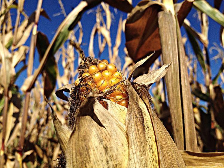 Mais auf maisfeld Feld Felder Mais Maiskolben