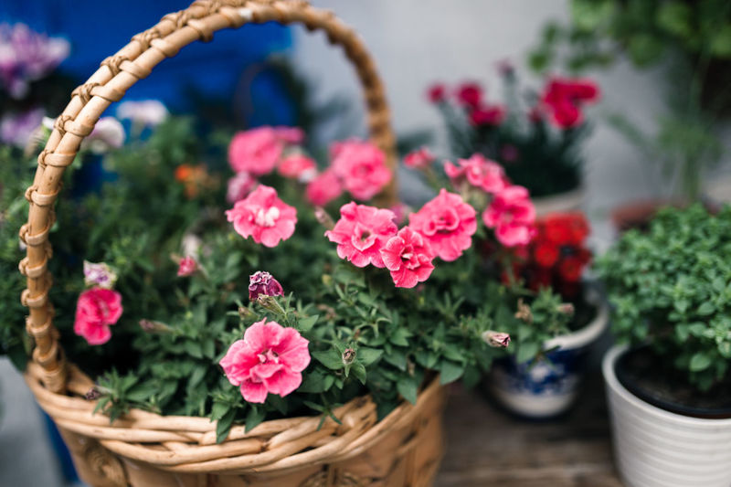 Plant Flowering Plant Flower Freshness Basket Growth Container Pink Color Beauty In Nature Fragility Vulnerability  Nature Potted Plant Close-up Selective Focus No People Flower Pot Day Outdoors Plant Part Flower Head Gardening