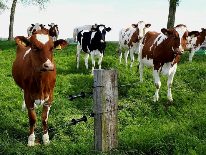 Livestock Domestic Animals Grass Cattle Cow Animal Agriculture Mammal Standing No People Animal Themes Day Outdoors Dutch Landscape Farm Animals Field Netherlands Nature EyeEmNewHere Curious Cows Curious Animals Dutch Countyside Farm Dutch Cow Zeeuws Vlaanderen Zeeland