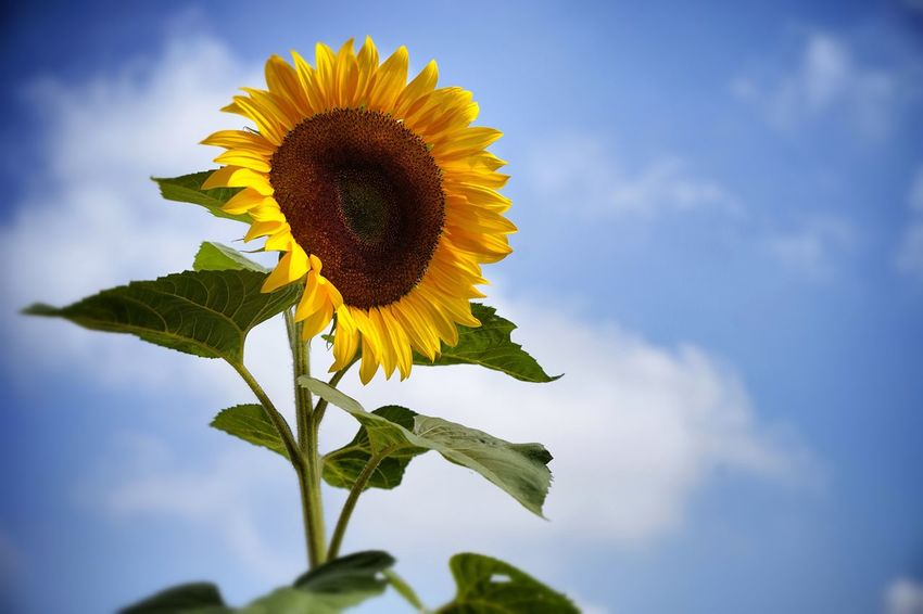 the diva Pure Beauty Plant Sunflower Flower Flowering Plant Flower Head Beauty In Nature Yellow Freshness Sky Close-up Low Angle View Fragility Cloud - Sky Petal Nature Leaf