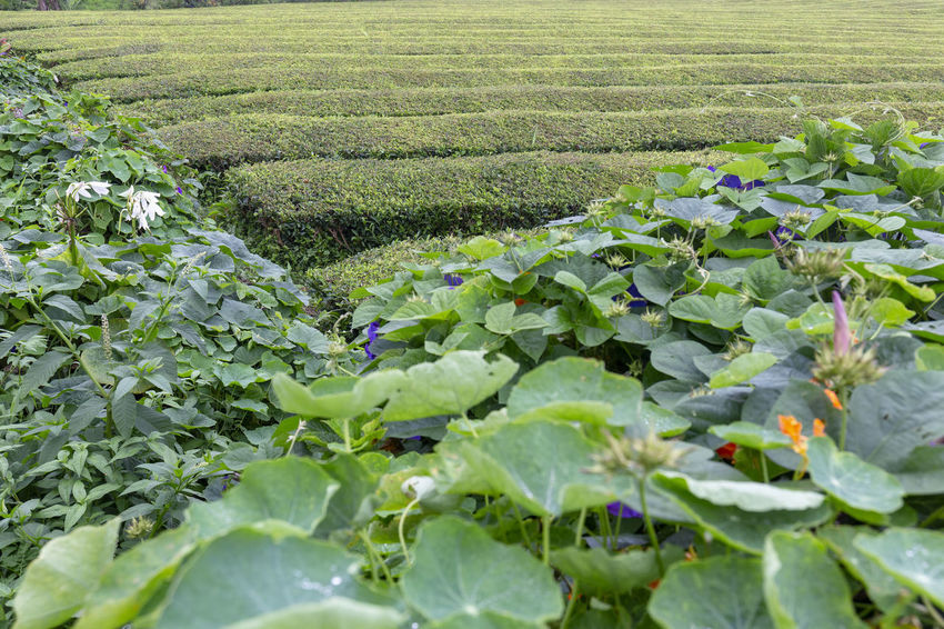 Beautiful view of tea rows near Sao Bras on Sao Miguel in the Azores. São Brás São Brás Cha Gorreana Portugal Azores Sao Miguel Tea Green Black Production Factory Industry Rows Atlantic Europe Cha Gorreana Organic Leaf Agriculture Island Tourism Drink No People