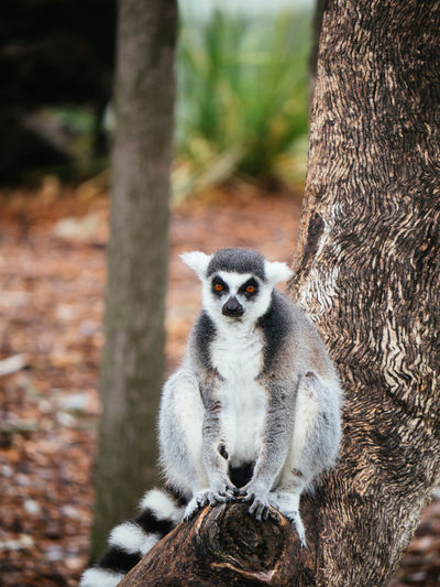 Animal Themes Animal Wildlife Animals In The Wild Day Dubbo Forest Lemur Mammal Nature No People Outdoors Wildlife Zoo