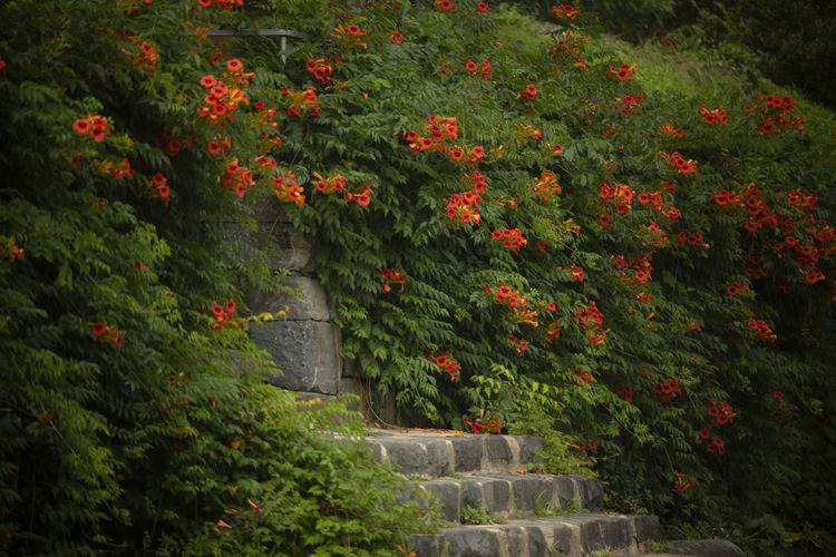 능소화 Korea Hwasun Flower Red Grass Garden