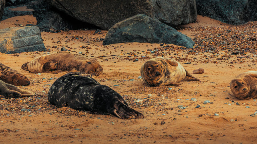 View of animal relaxing on sand