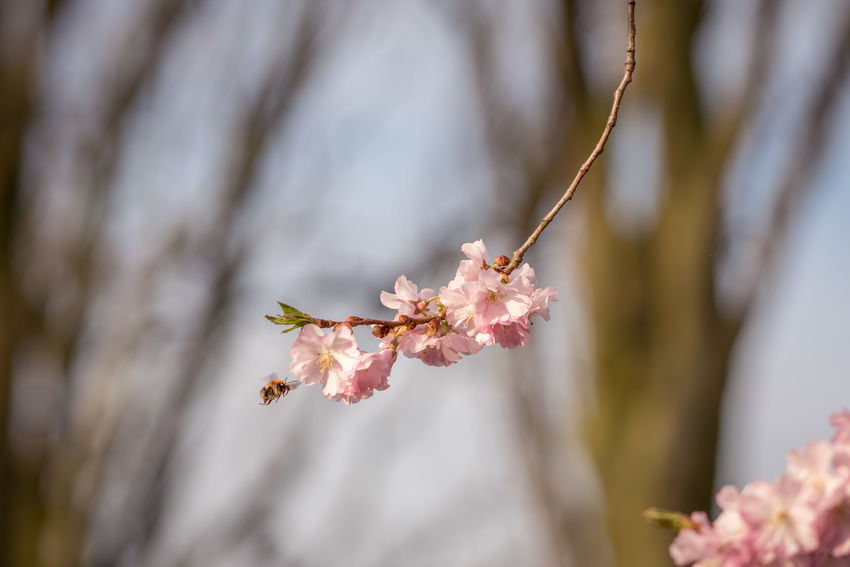 Cherry blossoms Beauty In Nature Blossom Cherry Blossom Cherry Tree Close-up Day Flower Focus On Foreground Fragility Freshness Growth Nature No People Outdoors Petal Pink Color Plant Pollen Selective Focus Springtime Tree Vulnerability