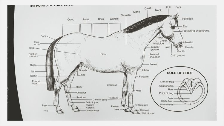 studying Horse Pony Club Exam