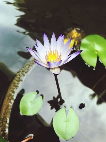 Water Lily The Power Of Flowers Vulnerability  Beauty In Nature Nature Water Lily