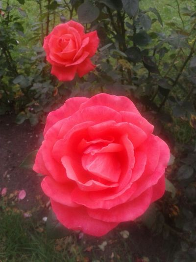 The most Perfumy Roses from our past trips ♡. Romania Putna