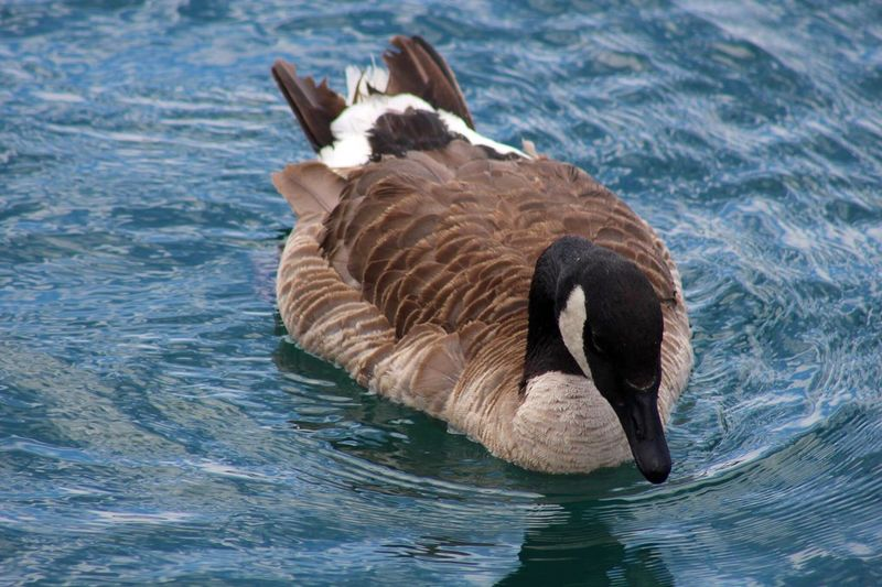 Canada goose swimming on lake