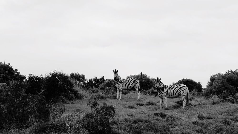 Zebra Zebras Addoelephantpark African Animals South Africa Africa Blackandwhite African Landscape Landscape Safari Animals Safari Monochrome Black And White Animals In The Wild Animals Wildlife