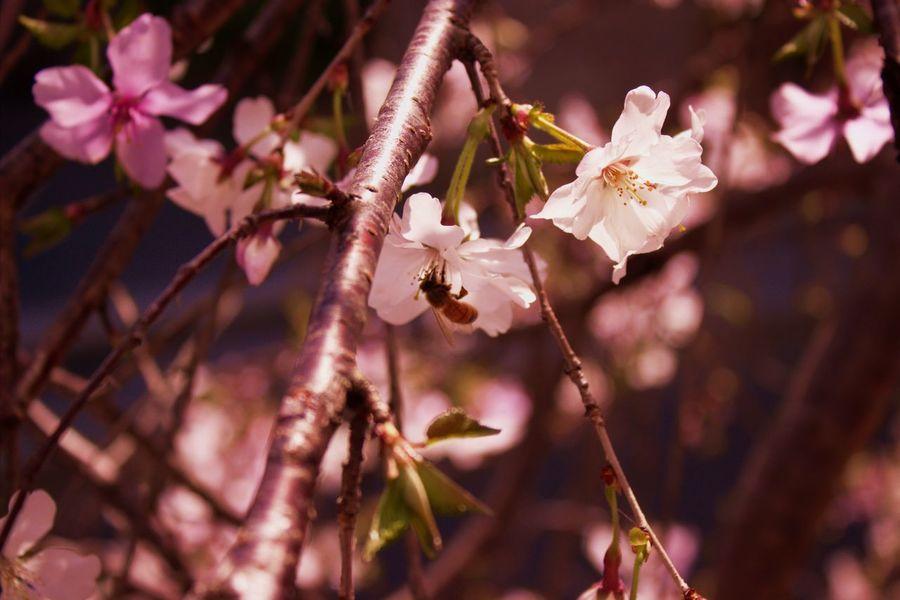 Harajuku Sakura Bee サクラ 桜 桜花 原宿 ビー 蜂