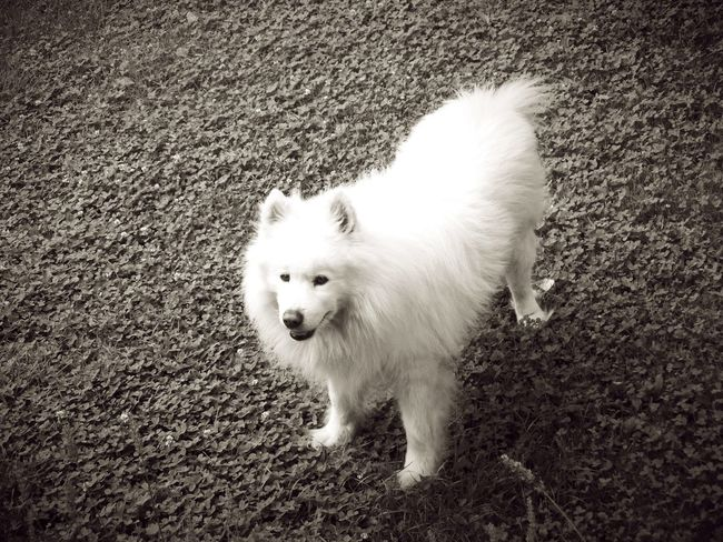 Animal Animal Photography Close-up Cute Day Dog Dog Photography Dogs Of EyeEm Domestic Domestic Animals Domestic Dog Mammal No People Pets Portrait Samoyed Samoyede's Dog White White Color Pet Portraits