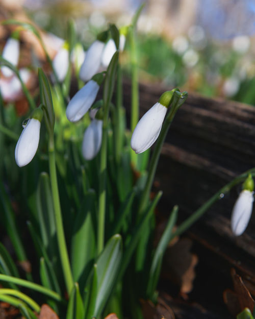 Первые подснежники Flower Plant Close-up Nature No People Day Green Color Fragility Beauty In Nature Outdoors Freshness Flower Head Snowdrop Grass Crocus