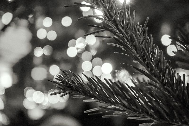 Close-up Plant No People Growth Nature Outdoors Tree Fragility Day Flower Head Christmas Tree Christmas Lights Bokeh Photography Bokeh Bokehlicious Focus On Foreground
