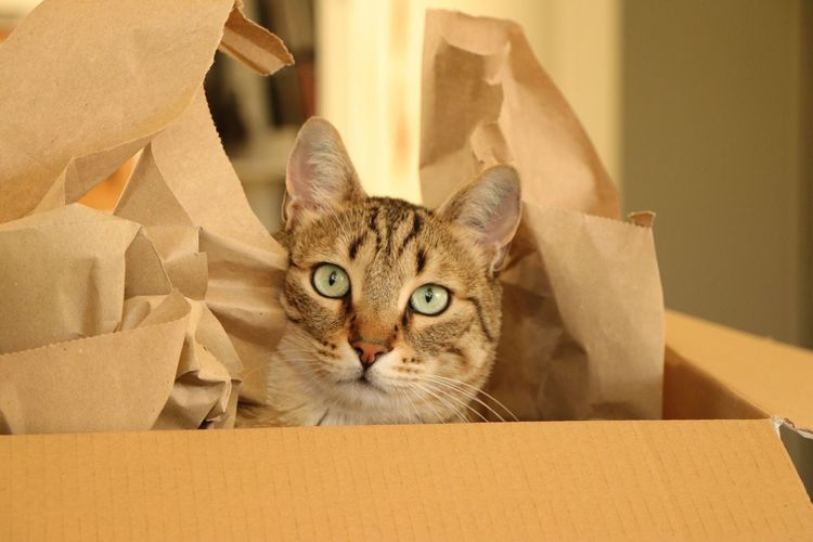 Cat in a Box Cardboard Box Domestic Cat Looking At Camera Pets Domestic Animals Portrait One Animal Animal Themes Indoors  Mammal Cardboard Box - Container Whisker Feline No People Close-up Day EyeEmNewHere BYOPaper! The Portraitist - 2017 EyeEm Awards Live For The Story Pet Portraits