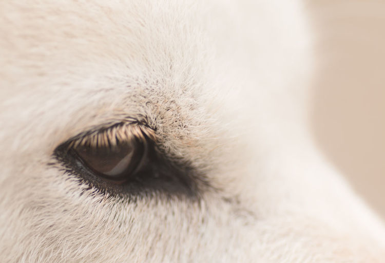 Cropped White Dog Eye