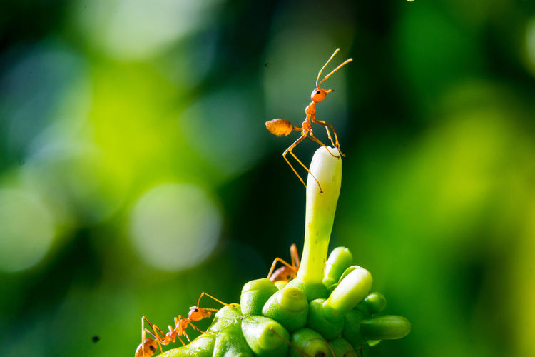 Invertebrate Insect Animal Themes Animal Animal Wildlife Animals In The Wild One Animal Close-up Green Color Plant Nature No People Action Activity Ant Ants Background Beautiful Bite Black Branch Bridge Bug Carrying Close