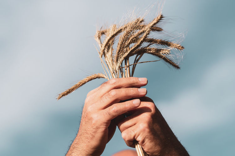 Close-up of hand holding crops against sky
