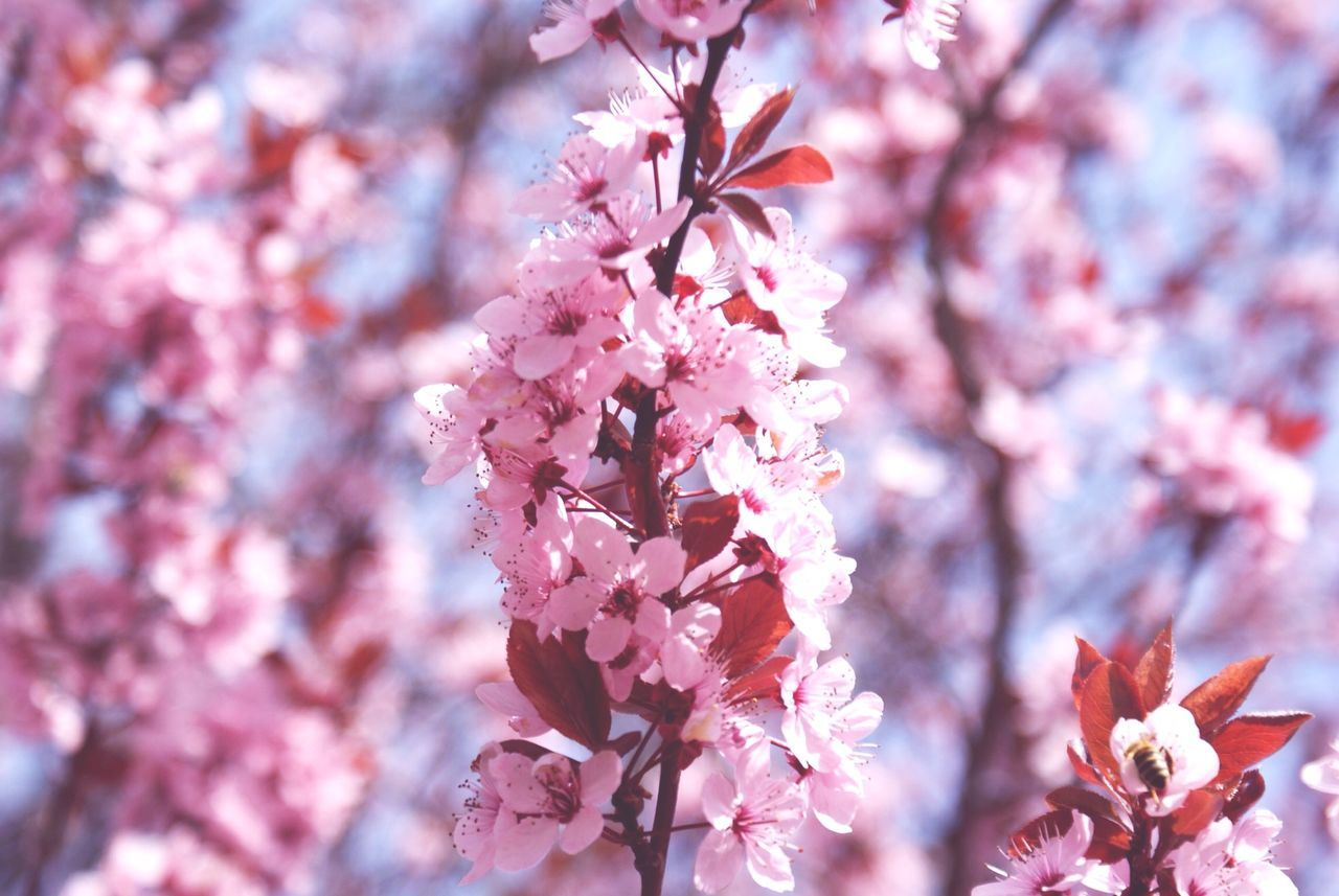 Close-up of cherry blossom in spring