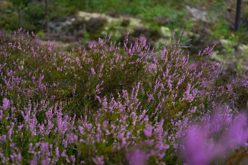 Beauty In Nature Calluna Calluna Vulgaris Day Flower Freshness Nature Outdoors Purple