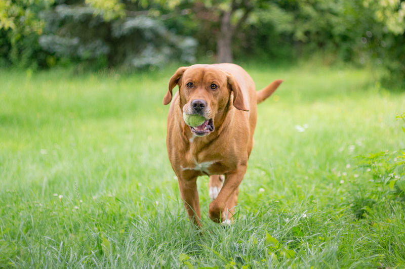 Portrait of brown dog with ball in mouth walking on grassy field