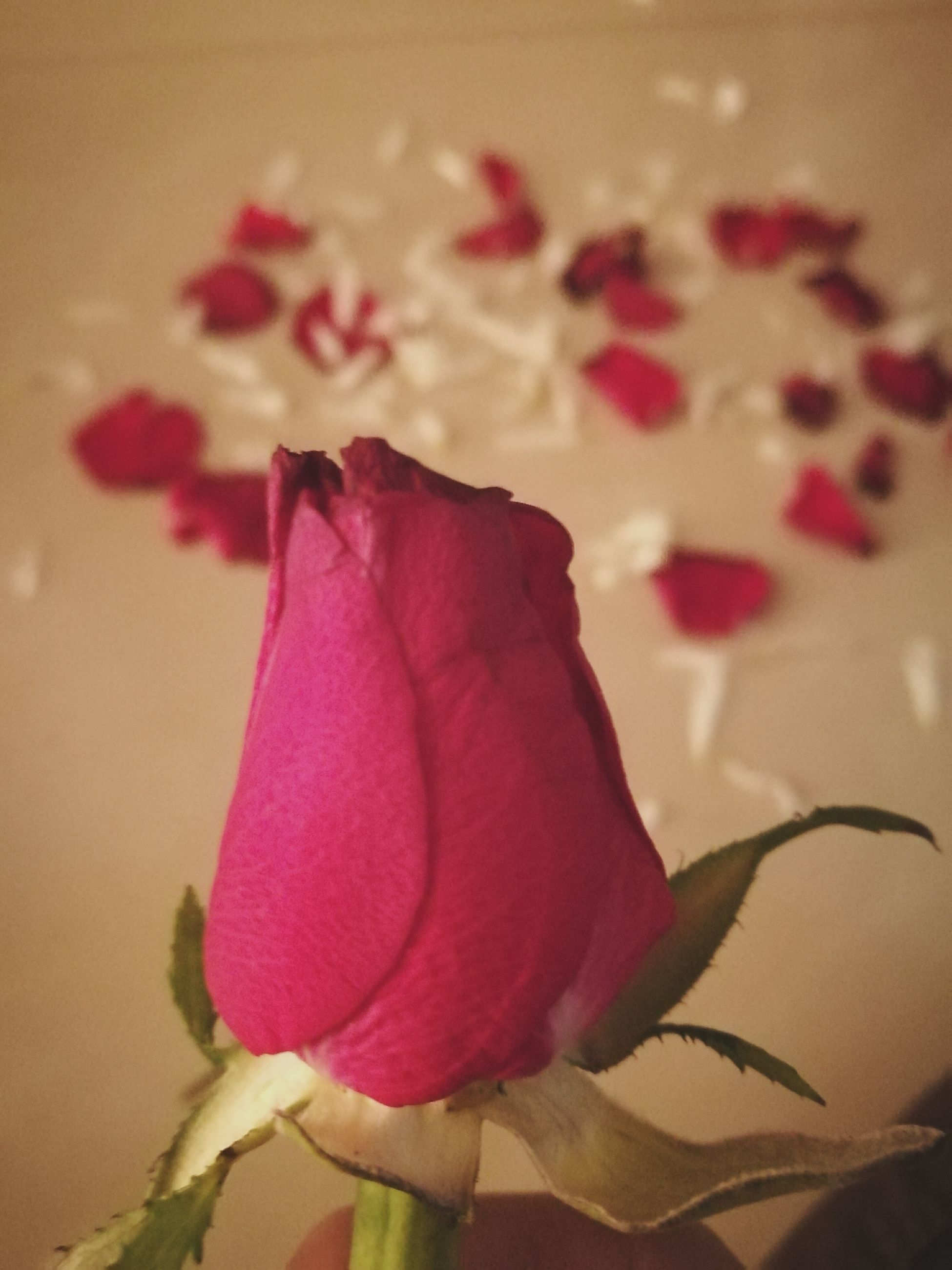flower, petal, flower head, fragility, rose - flower, beauty in nature, freshness, red, close-up, nature, no people, pink color, indoors, day