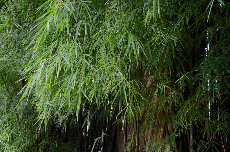 No People Outdoors Day Bali Safari & Marine Park Bali, Indonesia Lush Foliage Growth Green Thin Bamboo Bamboo Leaf Bamboo Forest Bamboo Grove Bamboo