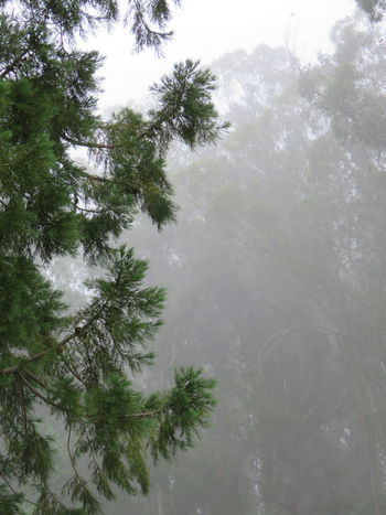 Beauty In Nature Branch Climate Cold Temperature Coniferous Tree Day Fog Forest Growth Land Nature No People Outdoors Pine Tree Plant Rain Scenics - Nature Snow Tranquil Scene Tranquility Tree Water Winter