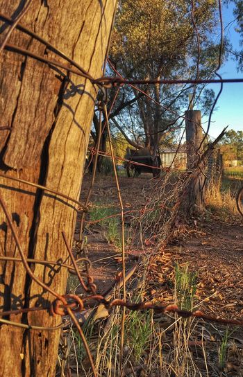Old Farm Old Wagon Wire Fence York Old Town Sunrise WesternAustralia