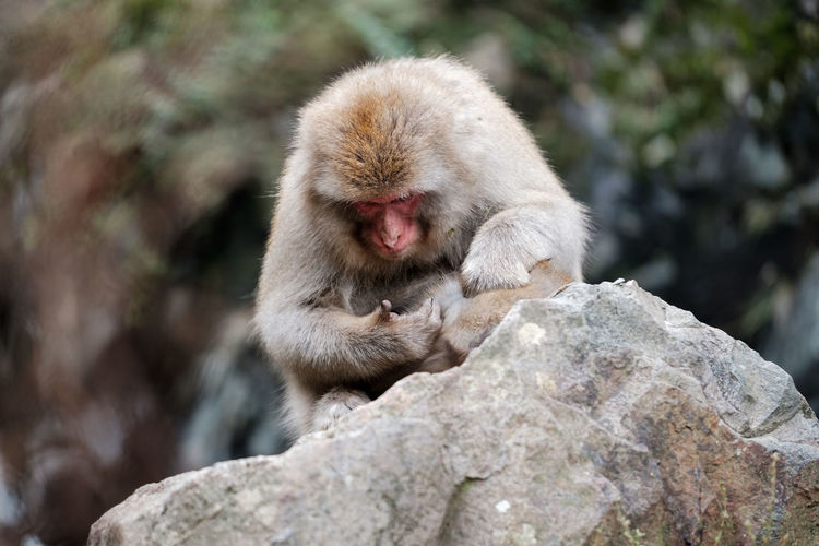 Monkey on rock looking at his fingers