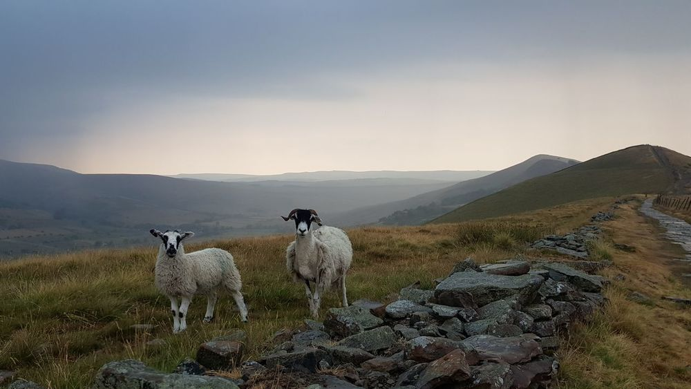 """""""What ewe looking at"""" 😂😂 Moody Sky Dramatic Sky Nature Photography For Anyone Whos Interested Beautiful Nature Beauty In Nature Having Fun Beautiful No Edit/no Filter Check This Out Derbyshire Peak District  Mam Tor Hollins Cross Photography Is My Escape From Reality! Evening Walk Landscape Landscape_Collection Landscape_photography Mountain Fog Sky Landscape Sheep Livestock Grazing The Traveler - 2018 EyeEm Awards"""