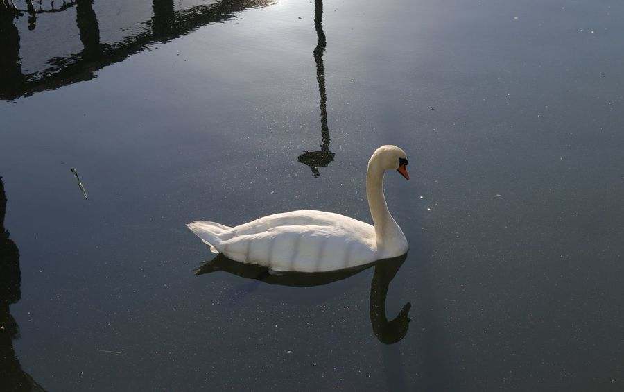 Animal Animal Family Animal Neck Animal Themes Animal Wildlife Animals In The Wild Bird Canada Water Cygnet Day Floating On Water Group Of Animals Lake Nature No People Outdoors Reflection Swan Swimming Vertebrate Water Water Bird Waterfront White Color Zoology