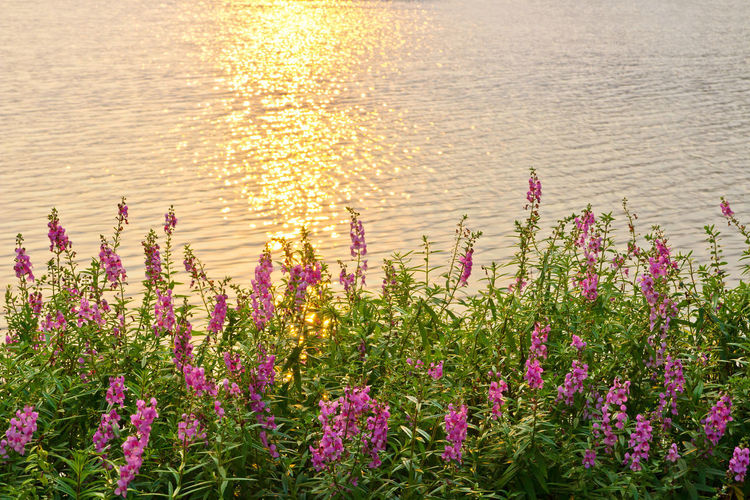 Close-up of pink flowering plants by sea during sunset