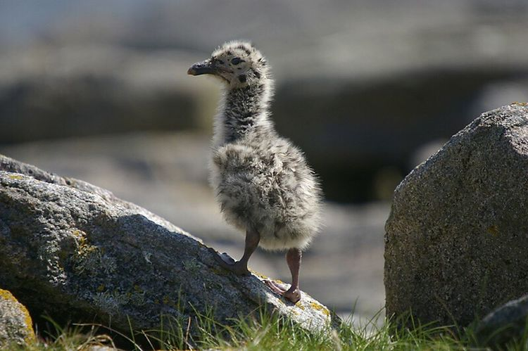 ugly, not to mum, great black backed gull chick. One Animal Animals In The Wild Animal Themes Wildlife Focus On Foreground Bird Close-up Bird Photography
