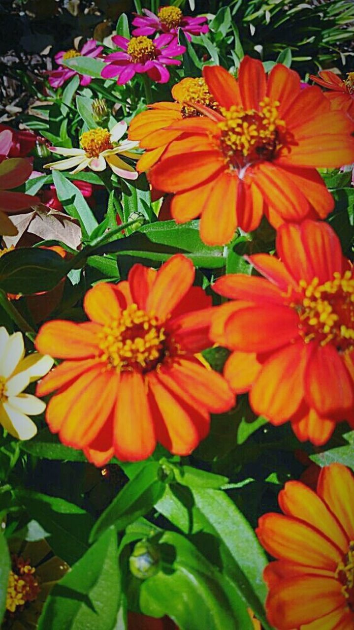 flower, petal, growth, beauty in nature, nature, flower head, fragility, freshness, blooming, orange color, plant, no people, leaf, day, outdoors, close-up, zinnia