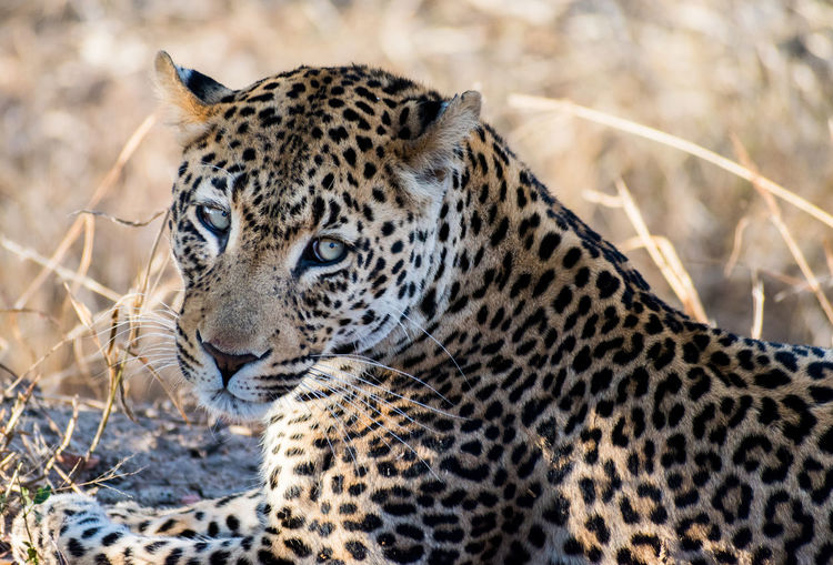 A leopard panthera pardus rests in the shade on the manyeleti game reserve in south africa