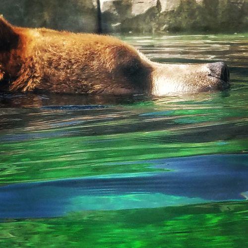 Just can't Bear the heat. Bear Swimming Grizzly Bear Closeup Closeupshot Animal Bearnecessities Brownbear Lake Motion Paw
