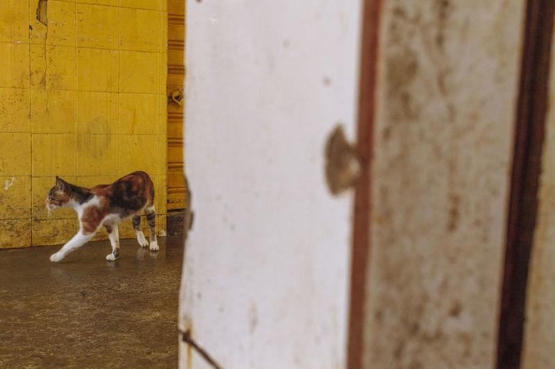 Paint The Town Yellow Street Market Cat Feira De São Joaquim Feline Mammal Stray Cat Stray Cat, Street Cat, Yellow Wall