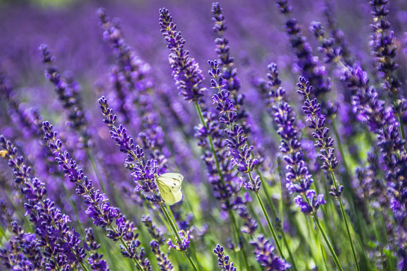 Lavender with