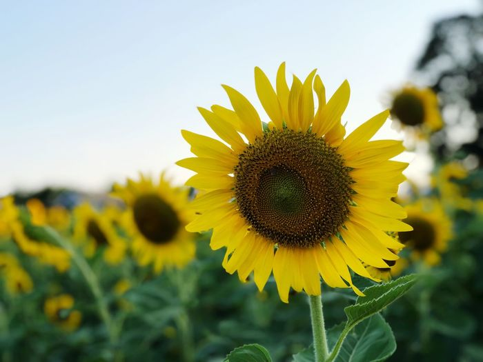 Sunflower garden on day time summer season Flower Flowering Plant Yellow Flower Head Plant Freshness Fragility Growth Beauty In Nature Sunflower Petal Close-up Nature Focus On Foreground Sky No People Day Inflorescence Vulnerability  Pollen