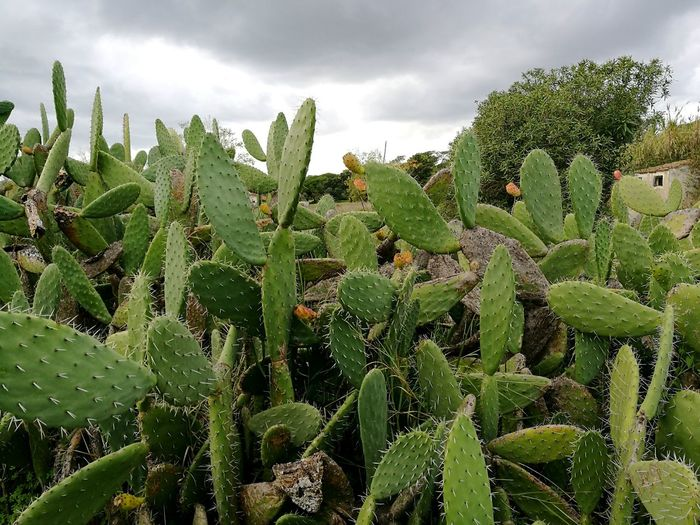 Growth Nature Green Color Agriculture Plant No People Cloud - Sky Tree Beauty In Nature Sky Day Outdoors Close-up Cactus