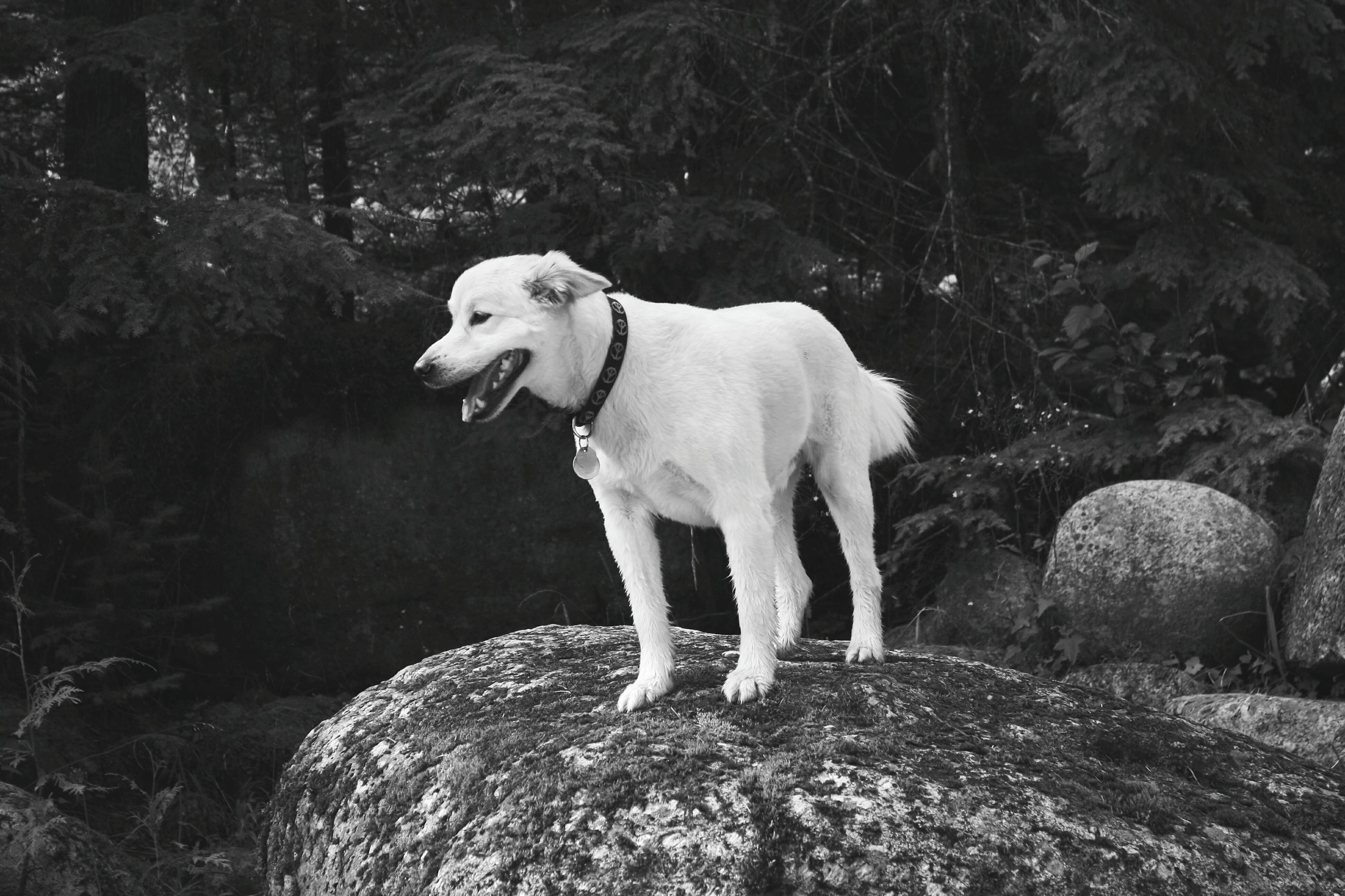 animal themes, one animal, mammal, domestic animals, full length, pets, standing, rock - object, dog, side view, nature, field, white color, grass, zoology, day, outdoors, no people, walking, wildlife
