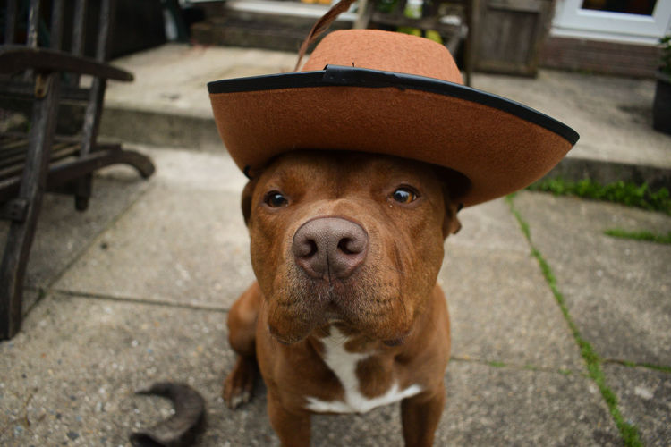 4legs Cowboy Dogs Dogs Of EyeEm Family Hat Animal Body Part Brown Canine Day Deisel  Dog Domestic Domestic Animals Focus On Foreground Footpath Gingerbread High Angle View Looking At Camera Mammal One Animal People Pets Portrait Vertebrate