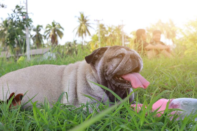 pug dog Pug EyeEm Best Shots Pets Protruding Dog Flower Sticking Out Tongue Panting Grass Close-up Green Color Lap Dog Cavalier King Charles Spaniel Shih Tzu Small Pet Clothing