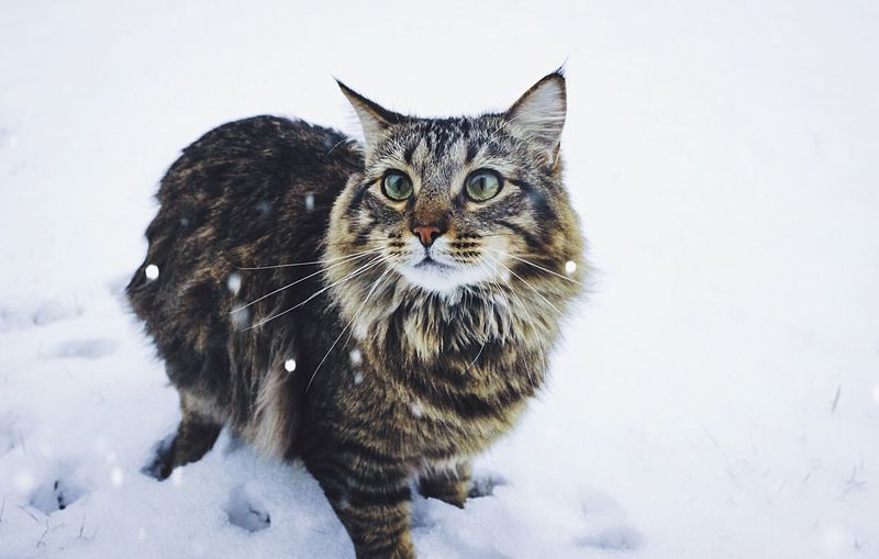 Showcase: December Here is a picture of my sisters cat Primrose playing in the snow!😻😸❄️🎄 Hello World Taking Photos Enjoying Life AdventureThatIsLife The Adventure Handbook December 2015 Photography This Week On Eyeem December Good Vibes Cute Pets Catsofinstagram Cat Snow The Portraitist - 2016 EyeEm Awards The Great Outdoors - 2016 EyeEm Awards