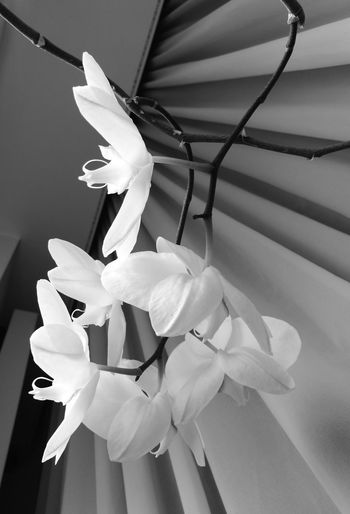 Fragile Flower Beauty In Nature Fragility Close-up Freshness Indoors  Flower Head Nature Orchid Blossoms Orchidporn Blackandwhite Bw_collection Bw_society Bw Photography From Where I Stand Growth Day One Person Water People