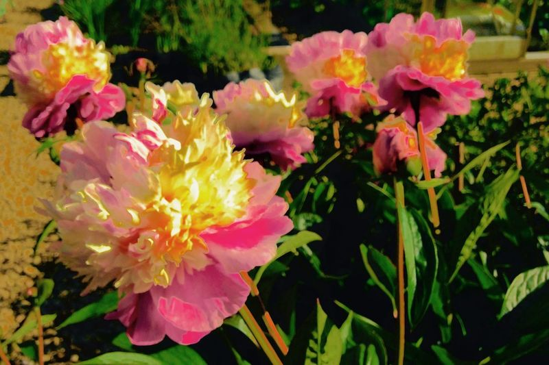 Peonies Growing Our Own
