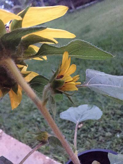Nuevo Amanecer Nuevo Despertar Girasol Girasol Enano Amarillo Verde Tierra