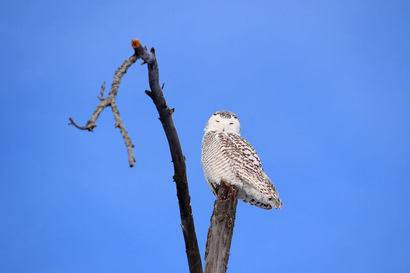Animal Themes Animals In The Wild Bird Bubo Scandiacus Clear Sky Nature No People One Animal Owl Perching Snowy Owl Wildlife Winter Zoology